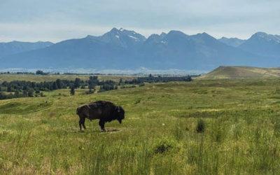 Bison Ranching