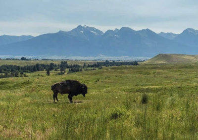 Bison Ranching